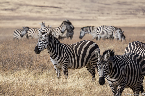 The zebras followed the wildebeest to the water