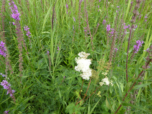 Meadowsweet and purple loosestrife at Dawlish Warren