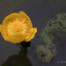 Yellow Water-lily - Woods Mill (092)