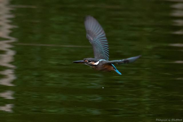 20180819-kingfisher-DSC_7844