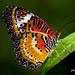 Leopard Lacewing by jt893x