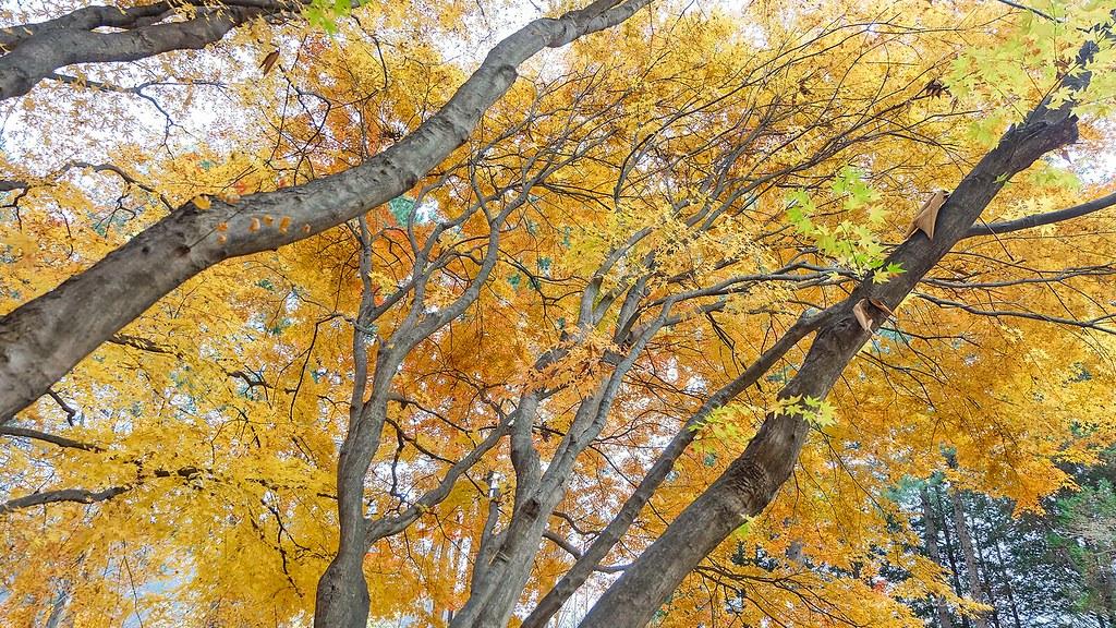 nami_island_autumn_trees