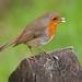 English Nature  -  Robin