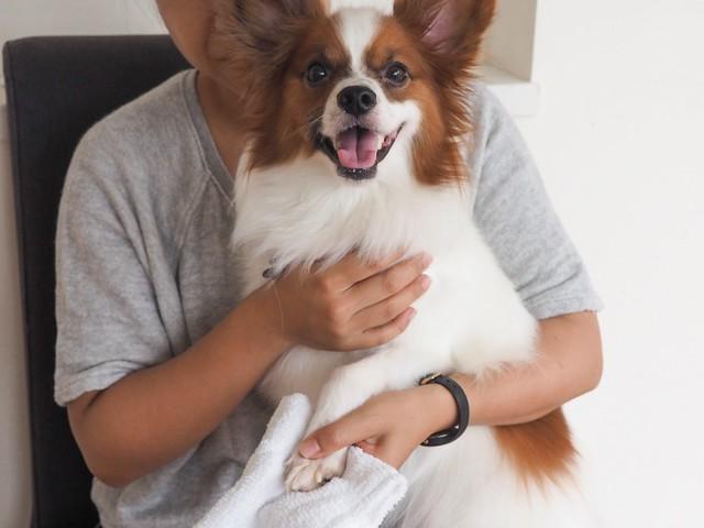 足ふきをしながら健康チェックをする犬