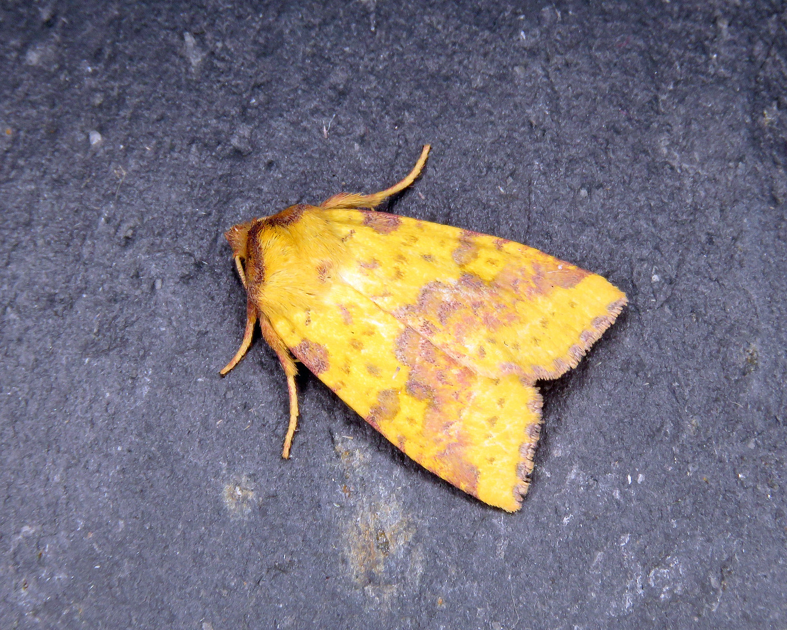 73.181 Pink-barred Sallow - Xanthia togatadited-1