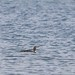 Red-throated Diver 2