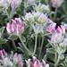 Dorycnium hirsutum,_hairy canary clover,_5.8.18