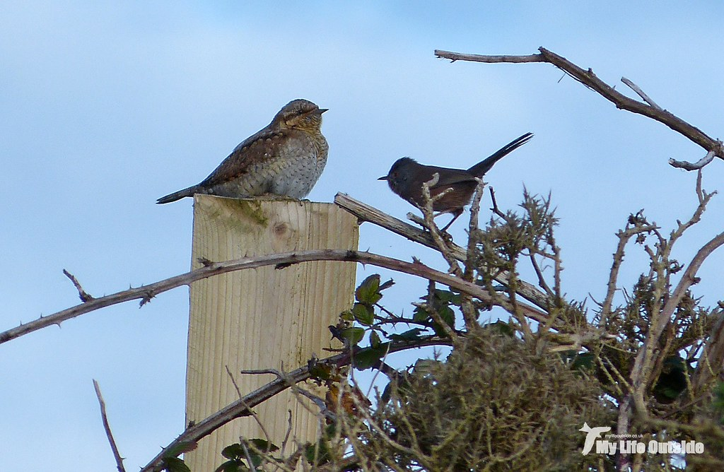 28864_2 - Wryneck vs Dartford Warbler - 2012 Re-edit