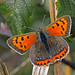 Lycaena phlaeas - the Small Copper (form caeruleopunctata)