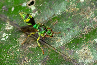 Emerald paper wasp (Ropalidia sp.) - DSC_1611