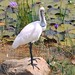 Royal Spoonbill (Platalea regia) by Urban and Nature OZ