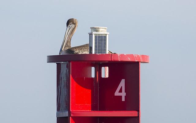 Brown Pelican (juvenile), Canon EOS 5D MARK III, Canon EF 400mm f/5.6L