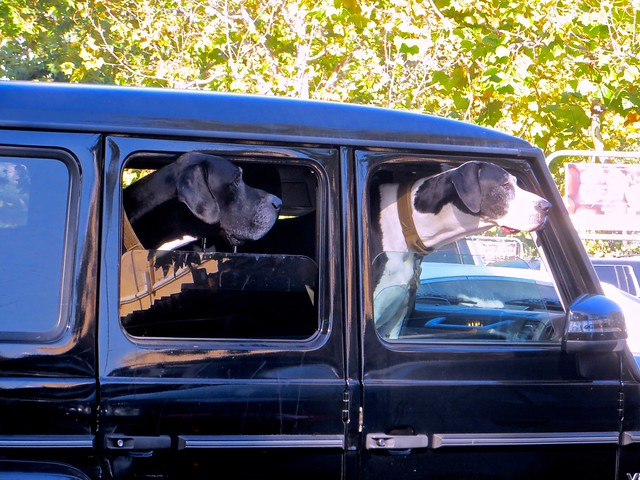 dogs in car waiting