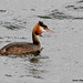 Great-crested Grebe_82A0600