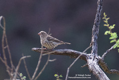 House Finch, Phantom Ranch, Grand Canyon