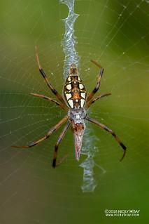 Zigzag spider (Argiope ranomafanensis) - DSC_8004