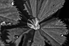 Blumen / flowers black & white