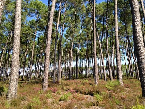 Forêt des Landes / Landes de Gascogne / Лес Ландов