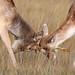 Fallow Deer Dama dama Buck 006-1-2