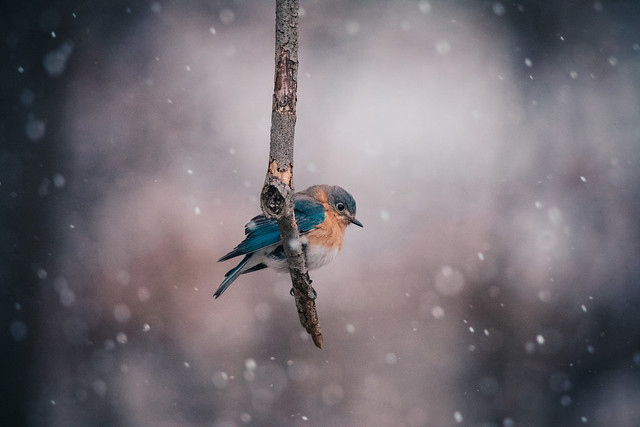 Bluebird in Snowfall by Jessica Nelson