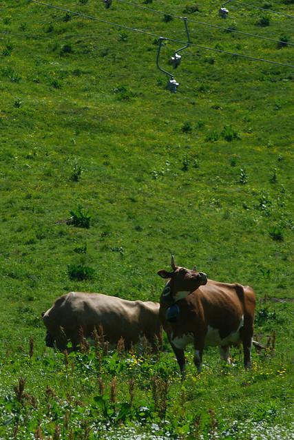 2 Cows, Switzerland, Jul 18