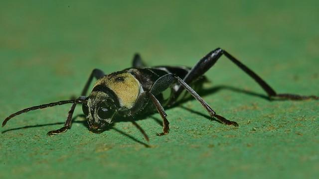 Longicorn beetle Xylotrechus reginae Clytini Cerambycidae Lamiinae at night light Airlie Beach rainforest P1060121