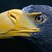 Steller's sea eagle by pe_ha45