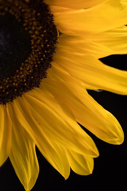 Sunflower [Explore], Canon EOS 5D MARK IV, Canon EF 100mm f/2.8 Macro USM