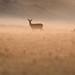 Red Deer Cervus elaphus Hind 001-1