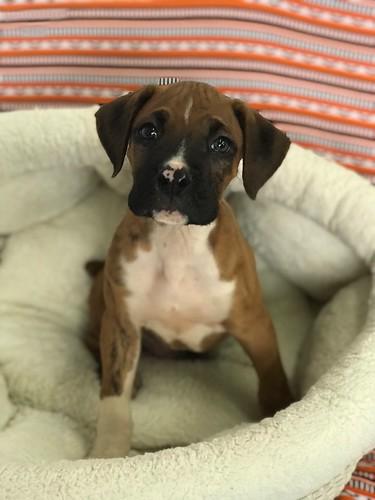 Search Results For Petopia Pet Store Lynchburg Va Puppies For Sale
