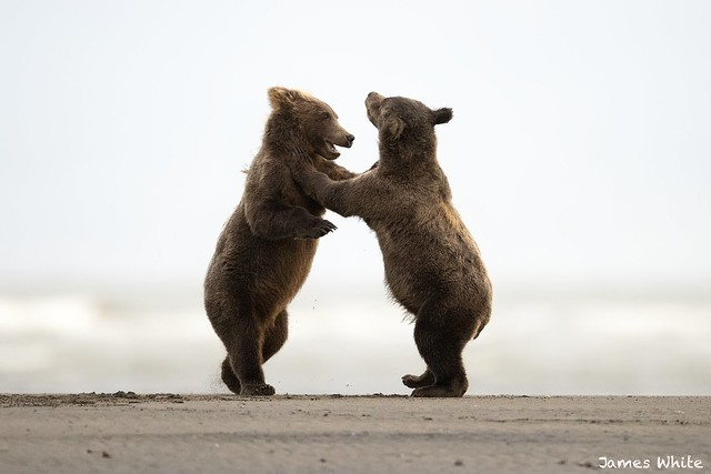 Brown bear cubs playing, Canon EOS-1D X MARK II, Canon EF 600mm f/4.0L IS II USM