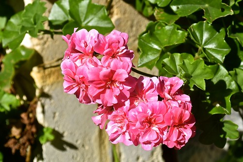 A pink ivy geranium in our garden August 2018