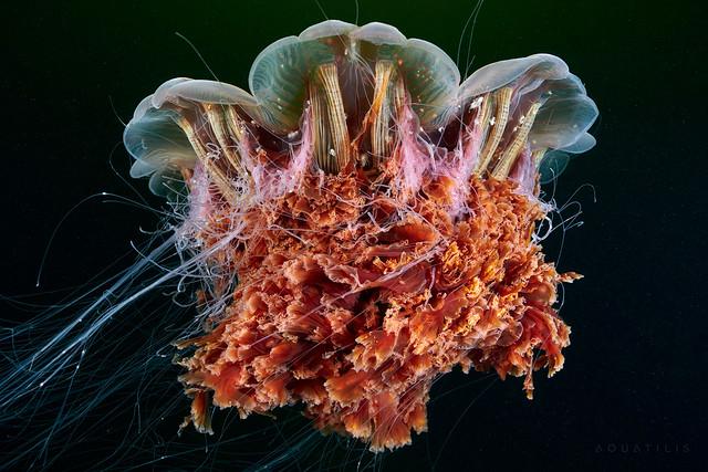 Elder Cyanea capillata