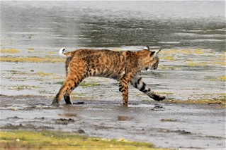 Lynx rufus californicus Bobcat #4