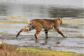 Lynx rufus californicus Bobcat #3