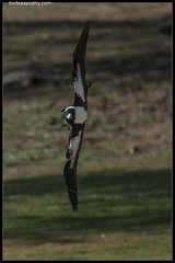Australian Magpie —INCOMING!