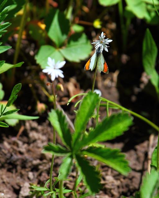 IMG_7555 Stella Orangetip (Anthocharis stella), Yellowstone National Park