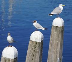 Sea Gulls at Veere (17)