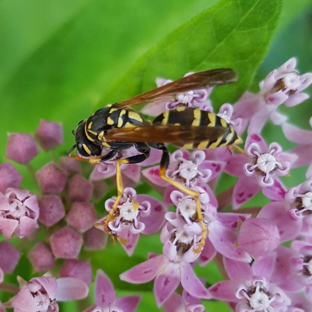 Polistes dominula, Eropean paper wasp, on Asclepias incarnata, rose/swamp milkweed, in my front yard, August 2018