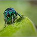 Pseudomalus auratus? by Ed Phillips 01