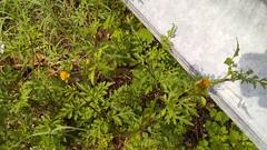 Spanish Needles blooming (Bidens bipinnata), Wayside Drive at Gertrude Dr., North Beach Quad, Calvert County, MD, 2018_0907