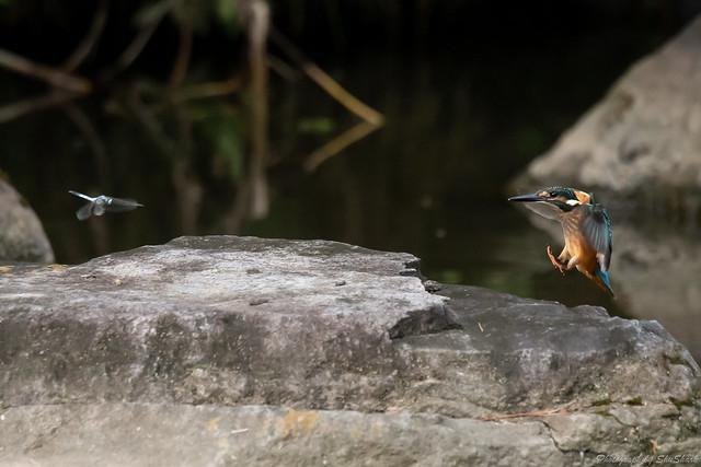 20180908-kingfisher-DSC_8412