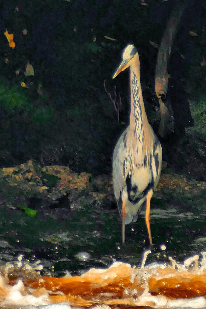 heron transkelvin