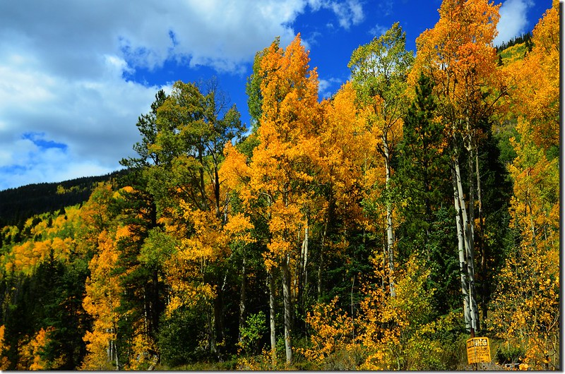 Aspen trees in autumn,  Montezuma Rd, Keystone (12)