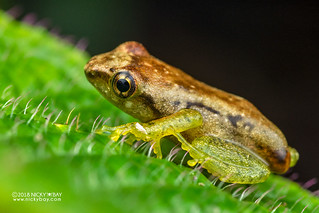 Free Madagascar Frog (Guibemantis liber) - DSC_0560