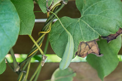 Samenkapsel der Gespensterpflanze