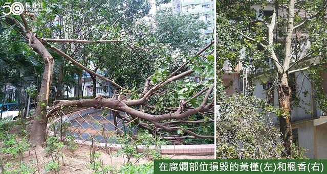 3. 樹木問題 - 在腐爛部位損毀的黃槿和楓香