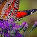 2018.08.11 Butterfly Rainforest Butterfly 7