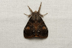Orgyia pseudotsugata ♂ (Douglas Fir Tussock Moth) - Hodges # 8312 - Everett WA