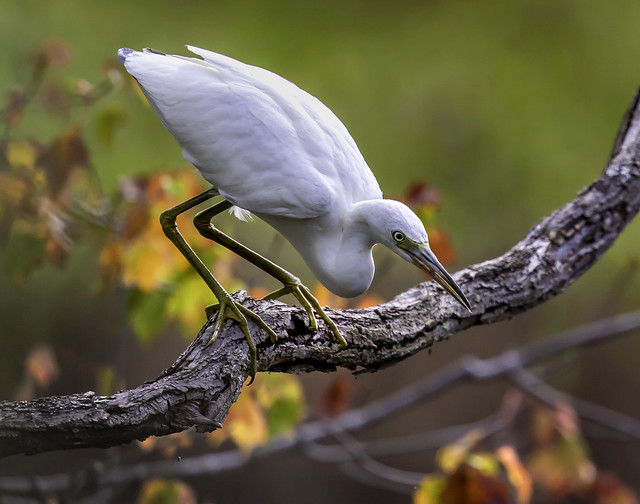 Little Blue Heron Ready to Pounce by Kevin Moore